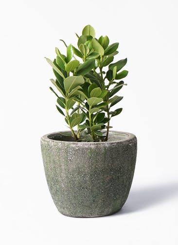 観葉植物 クルシア ロゼア プリンセス 6号 アビスソニア ミドル 緑 付き