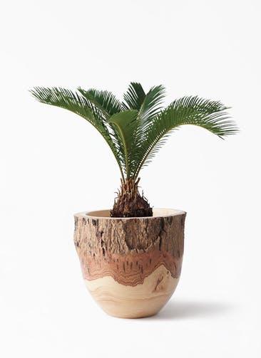観葉植物 ソテツ 6号 Mango Wood(マンゴーウッド) フラワーベース 付き