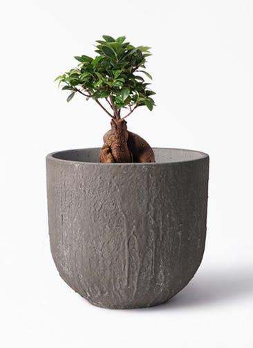 観葉植物 ガジュマル 6号 股仕立て バル ユーポット アンティークセメント 付き