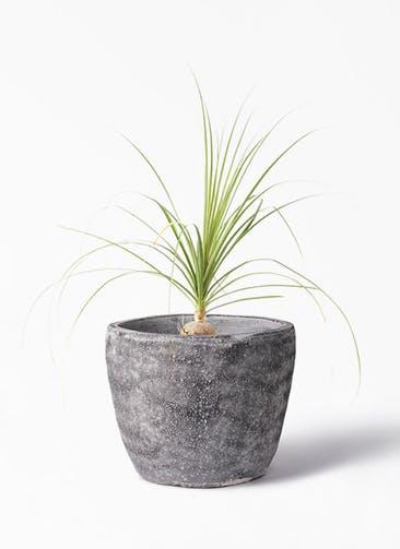 観葉植物 トックリラン 6号 アビスソニア ミドル 灰 付き