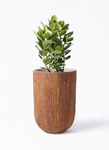 観葉植物 クルシア ロゼア プリンセス 6号 バル トール ラスティ  付き