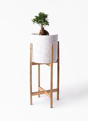 観葉植物 ガジュマル 6号 股仕立て ホルスト シリンダー スパークルホワイト ウッドポットスタンド 付き