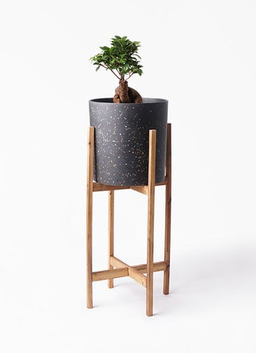 観葉植物 ガジュマル 6号 股仕立て ホルスト シリンダー スパークルブラック ウッドポットスタンド 付き