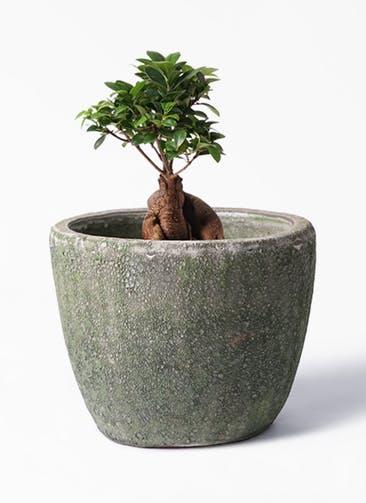 観葉植物 ガジュマル 6号 股仕立て アビスソニア ミドル 緑 付き