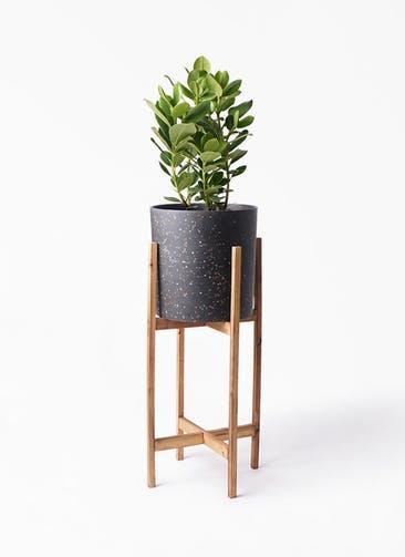 観葉植物 クルシア ロゼア プリンセス 6号 ホルスト シリンダー スパークルブラック ウッドポットスタンド 付き