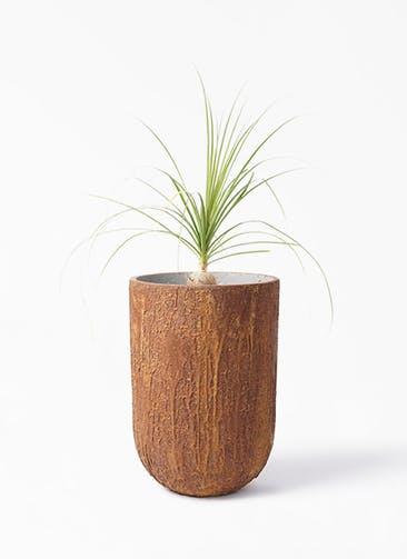 観葉植物 トックリラン 6号 バル トール ラスティ  付き