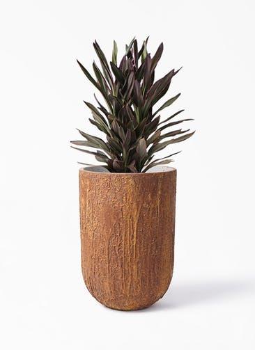 観葉植物 コルディリネ (コルジリネ) サンゴ 6号 バル トール ラスティ  付き