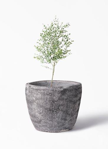 観葉植物 ユーカリ 6号 グニー アビスソニア ミドル 灰 付き