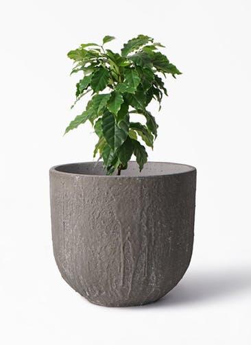 観葉植物 コーヒーの木 6号 バル ユーポット アンティークセメント 付き