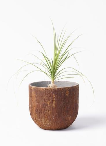観葉植物 トックリラン 6号 バル ユーポット ラスティ  付き