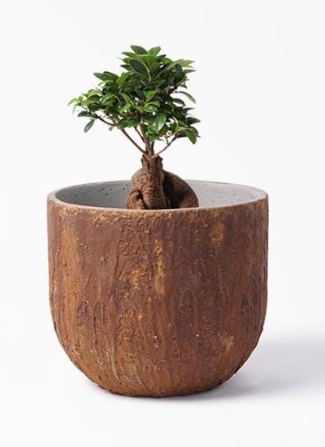観葉植物 ガジュマル 6号 股仕立て バル ユーポット ラスティ  付き