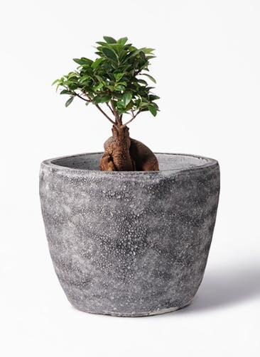 観葉植物 ガジュマル 6号 股仕立て アビスソニア ミドル 灰 付き