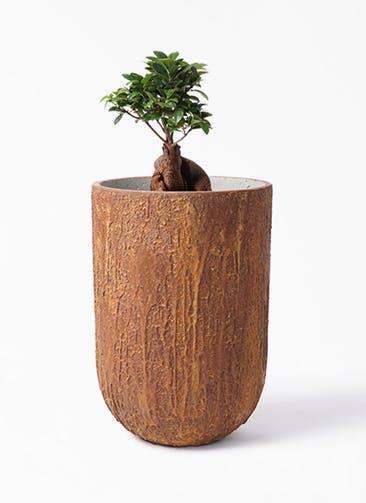 観葉植物 ガジュマル 6号 股仕立て バル トール ラスティ  付き