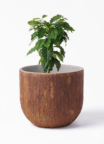 観葉植物 コーヒーの木 6号 バル ユーポット ラスティ  付き