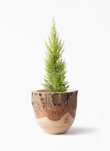 観葉植物 ゴールドクレスト 6号 ノーマル Mango Wood(マンゴーウッド) フラワーベース 付き