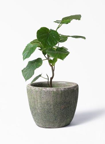 観葉植物 フィカス ウンベラータ 6号 ノーマル アビスソニア ミドル 緑 付き