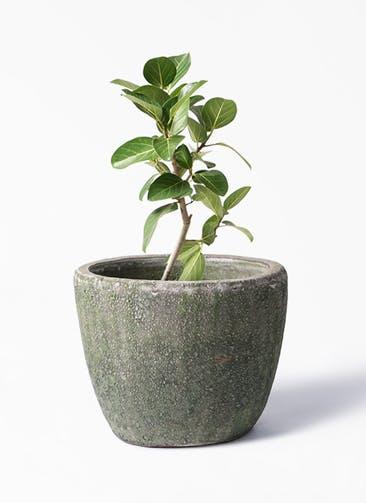 観葉植物 フィカス ベンガレンシス 6号 ストレート アビスソニア ミドル 緑 付き