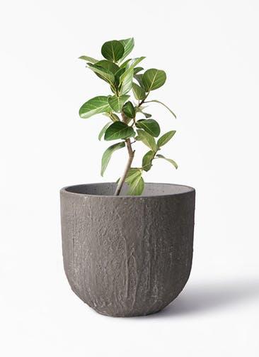 観葉植物 フィカス ベンガレンシス 6号 ストレート バル ユーポット アンティークセメント 付き