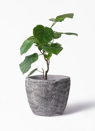 観葉植物 フィカス ウンベラータ 6号 ノーマル アビスソニア ミドル 灰 付き