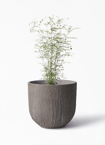 観葉植物 シマトネリコ 6号 バル ユーポット アンティークセメント 付き