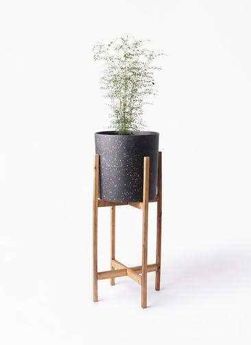 観葉植物 シマトネリコ 6号 ホルスト シリンダー スパークルブラック ウッドポットスタンド 付き