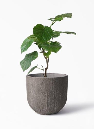 観葉植物 フィカス ウンベラータ 6号 ノーマル バル ユーポット アンティークセメント 付き