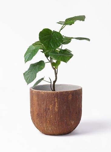 観葉植物 フィカス ウンベラータ 6号 ノーマル バル ユーポット ラスティ  付き