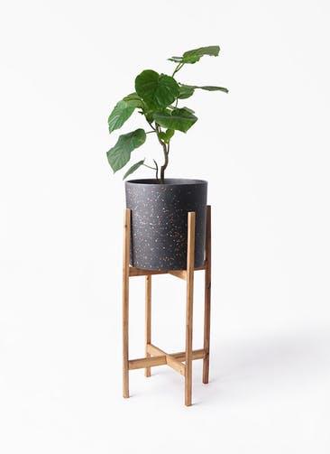 観葉植物 フィカス ウンベラータ 6号 ノーマル ホルスト シリンダー スパークルブラック ウッドポットスタンド 付き