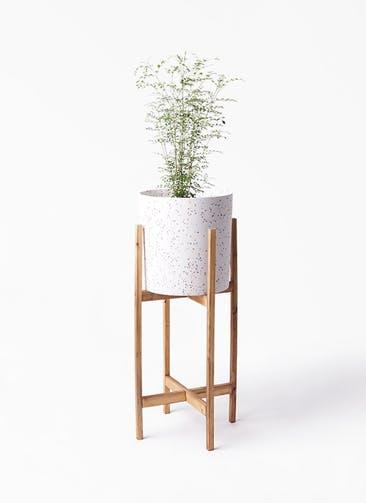観葉植物 シマトネリコ 6号 ホルスト シリンダー スパークルホワイト ウッドポットスタンド 付き