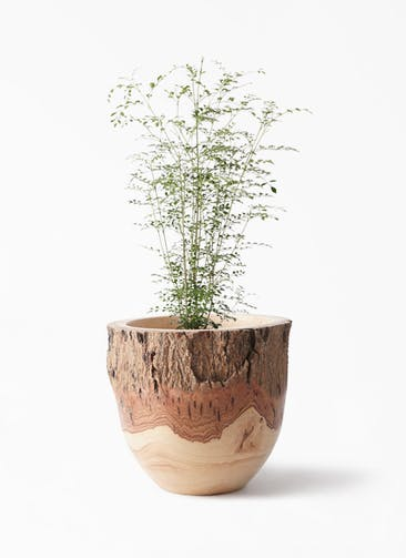 観葉植物 シマトネリコ 6号 Mango Wood(マンゴーウッド) フラワーベース 付き