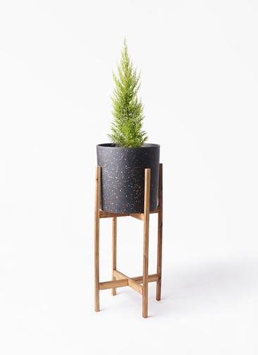 観葉植物 ゴールドクレスト 6号 ノーマル ホルスト シリンダー スパークルブラック ウッドポットスタンド 付き