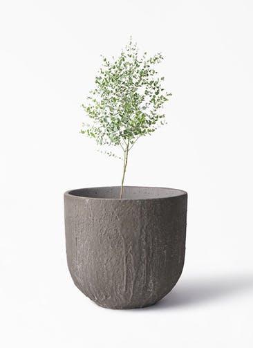 観葉植物 ユーカリ 6号 グニー バル ユーポット アンティークセメント 付き