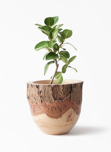 観葉植物 フィカス ベンガレンシス 6号 ストレート Mango Wood(マンゴーウッド) フラワーベース 付き