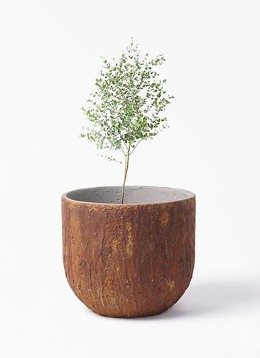 観葉植物 ユーカリ 6号 グニー バル ユーポット ラスティ  付き