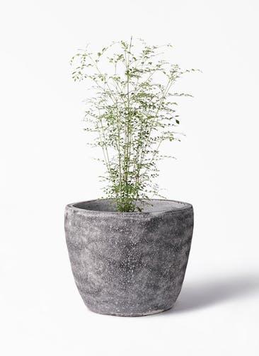 観葉植物 シマトネリコ 6号 アビスソニア ミドル 灰 付き