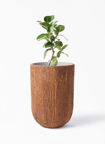 観葉植物 フィカス ベンガレンシス 6号 ストレート バル トール ラスティ  付き