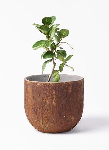 観葉植物 フィカス ベンガレンシス 6号 ストレート バル ユーポット ラスティ  付き