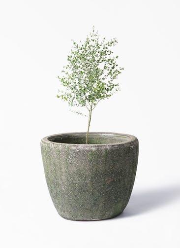 観葉植物 ユーカリ 6号 グニー アビスソニア ミドル 緑 付き