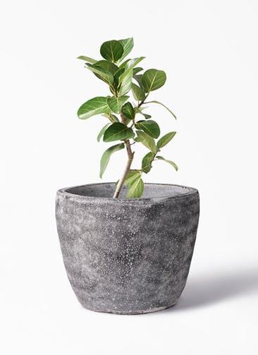 観葉植物 フィカス ベンガレンシス 6号 ストレート アビスソニア ミドル 灰 付き