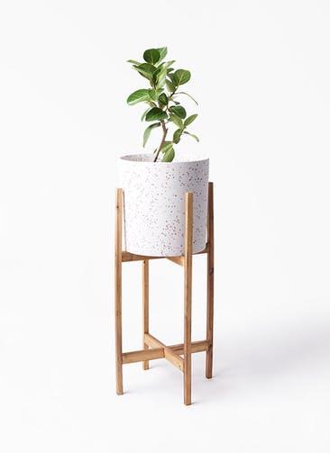 観葉植物 フィカス ベンガレンシス 6号 ストレート ホルスト シリンダー スパークルホワイト ウッドポットスタンド 付き