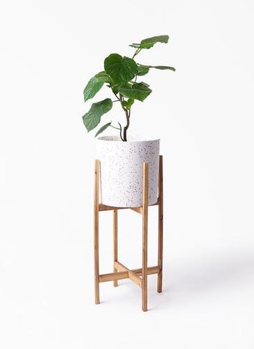 観葉植物 フィカス ウンベラータ 6号 ノーマル ホルスト シリンダー スパークルホワイト ウッドポットスタンド 付き