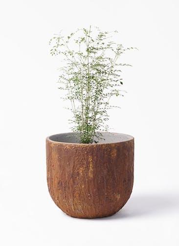 観葉植物 シマトネリコ 6号 バル ユーポット ラスティ  付き