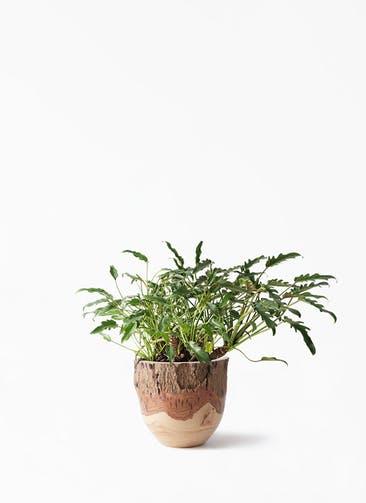 観葉植物 クッカバラ 6号 Mango Wood(マンゴーウッド) フラワーベース 付き