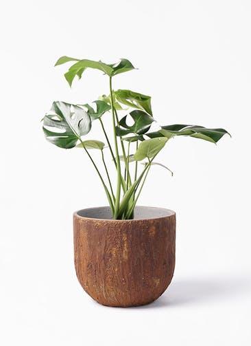 観葉植物 モンステラ 6号 ボサ造り バル ユーポット ラスティ  付き
