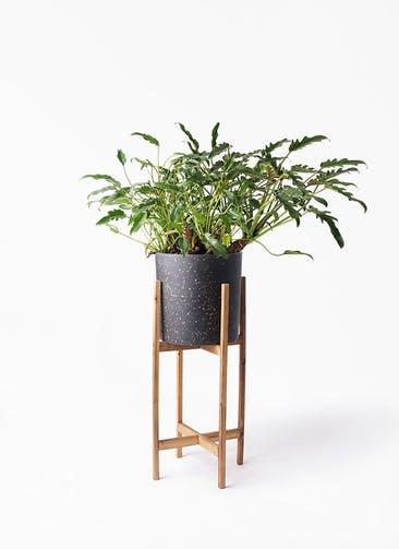 観葉植物 クッカバラ 6号 ホルスト シリンダー スパークルブラック ウッドポットスタンド 付き