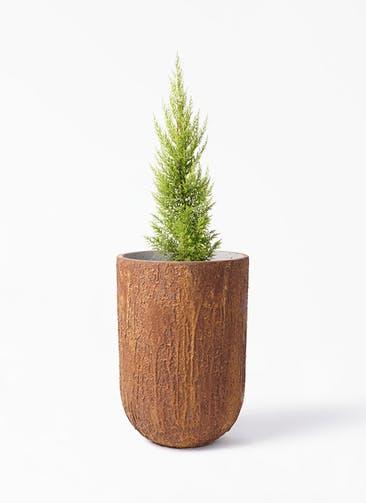 観葉植物 ゴールドクレスト 6号 ノーマル バル トール ラスティ  付き