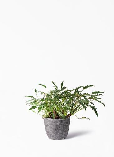 観葉植物 クッカバラ 6号 アビスソニア ミドル 灰 付き