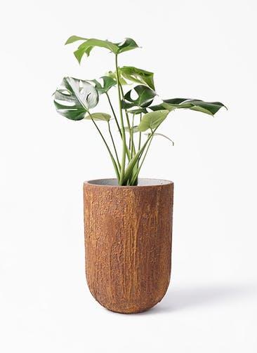 観葉植物 モンステラ 6号 ボサ造り バル トール ラスティ  付き