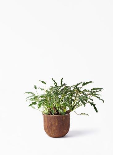 観葉植物 クッカバラ 6号 バル ユーポット ラスティ  付き