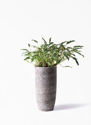 観葉植物 クッカバラ 6号  Eco Stone(エコストーン) トールタイプ Gray 付き
